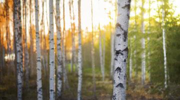 Birch forest in sunlight