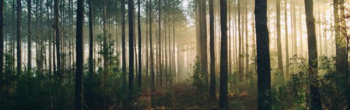 Solljus mellan träden i en skog